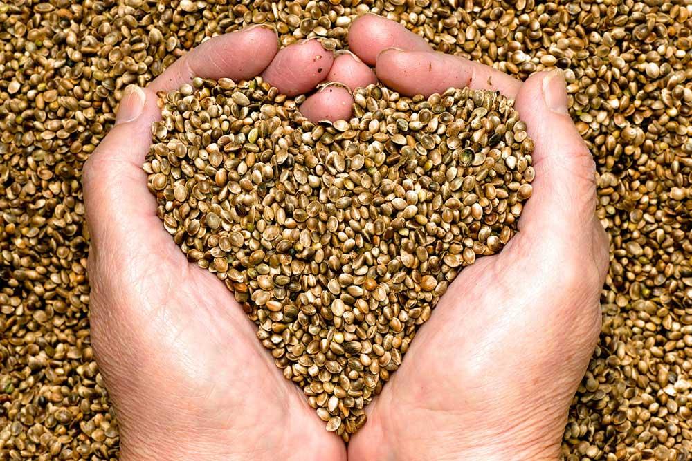 Hemp Hemp Seeds in Hands